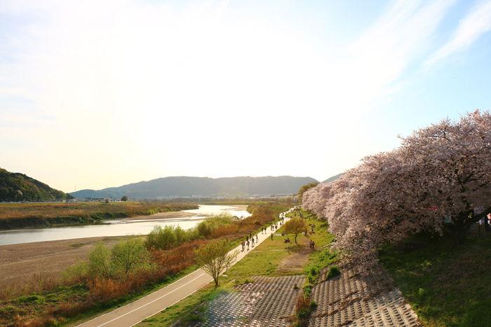 京都・八幡市・淀川河川公園背割堤地区20160405-2
