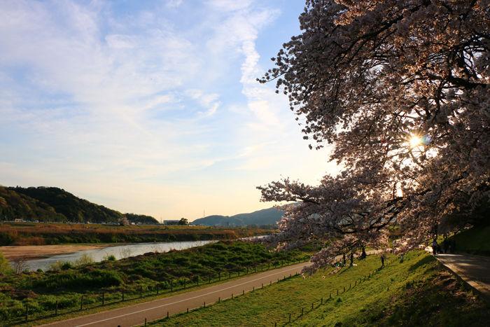 京都・八幡市・淀川河川公園背割堤地区20160405-9