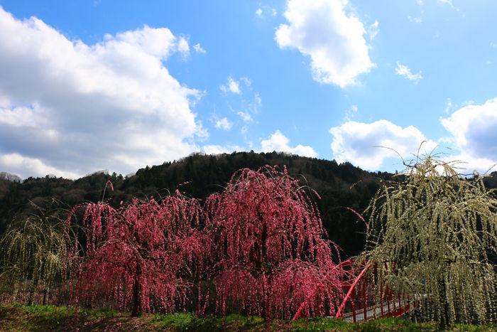 奈良・奈良市・月ケ瀬梅渓20160311-2