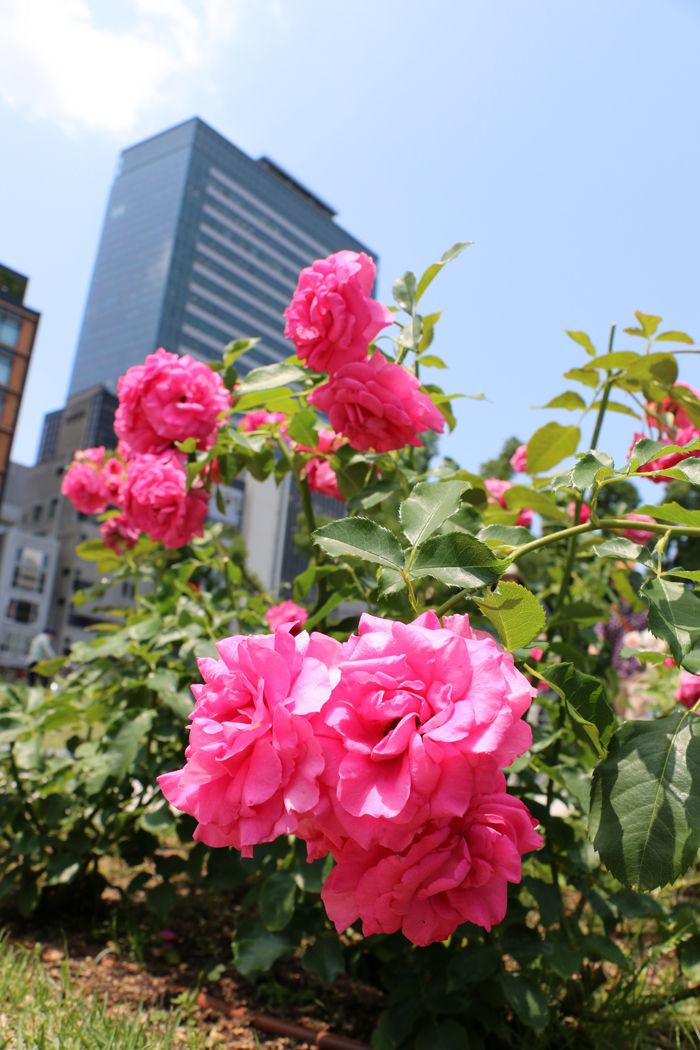 大阪・北区・中之島公園20160531-3