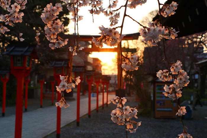 京都・北区・平野神社20160330-4