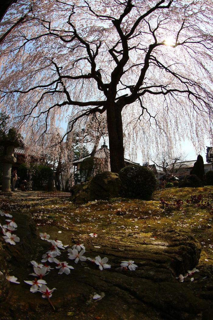 京都・上京区・【魚眼風景】本満寺20160329-5