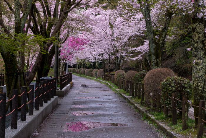 京都・左京区・哲学の道20170412-1
