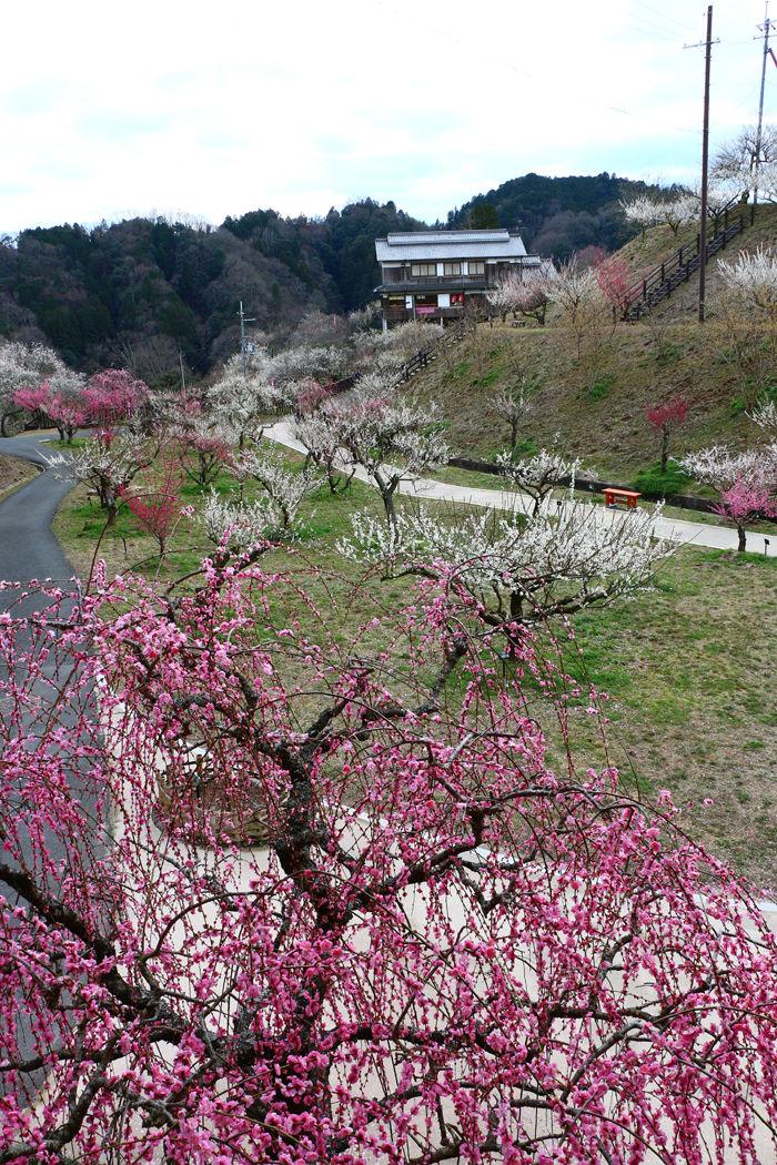 奈良・奈良市・月ケ瀬梅渓20160311-13