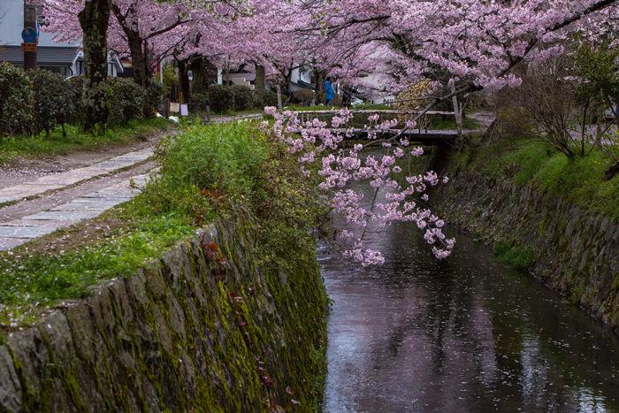 京都・左京区・哲学の道20170412-8