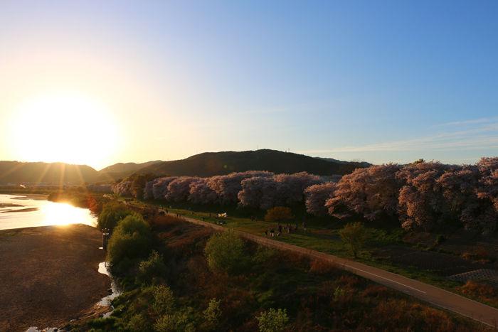 京都・八幡市・淀川河川公園背割堤地区20160405-17