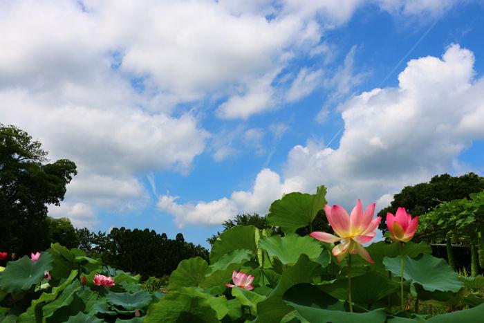 京都・左京区・京都府立植物園20160729-3