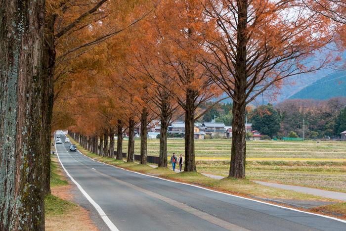 滋賀・高島市・マキノ高原【メタセコイア並木】20161130-3