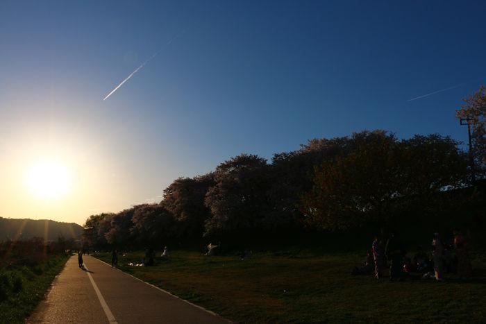 京都・八幡市・淀川河川公園背割堤地区20160405-14