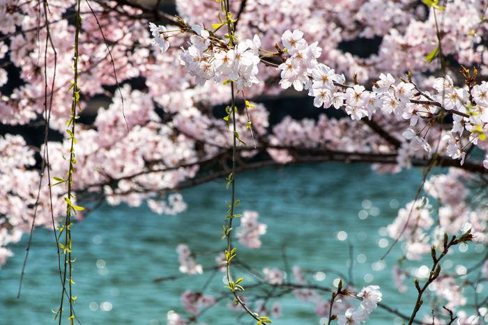 京都・左京区・琵琶湖疏水:岡崎徳成町地区20170328-1