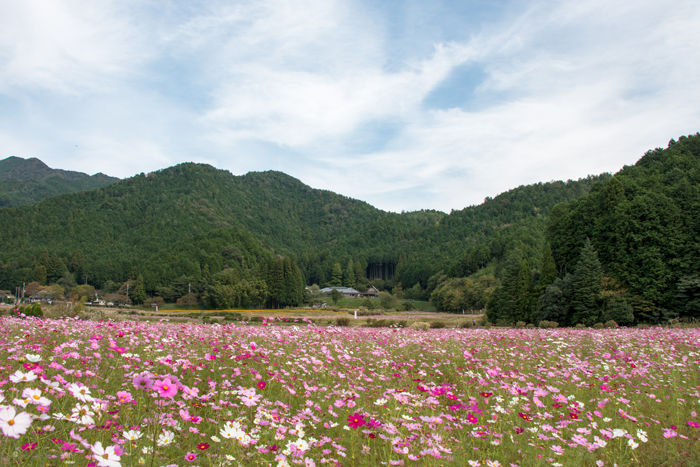 兵庫・丹波市・清住コスモス園20161014-8