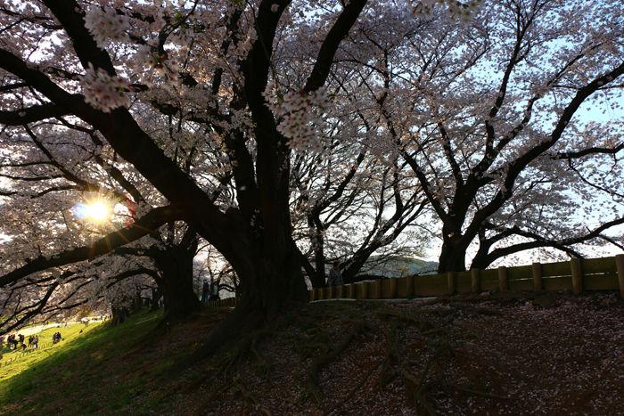 京都・八幡市・淀川河川公園背割堤地区20160405-12