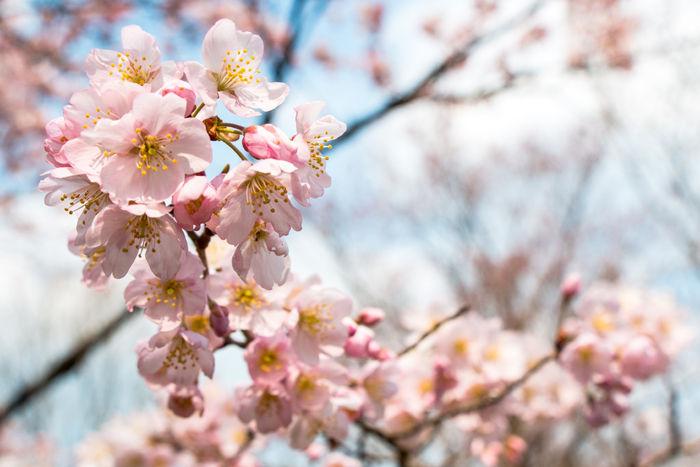 京都・左京区・京都府立植物園20170329-8