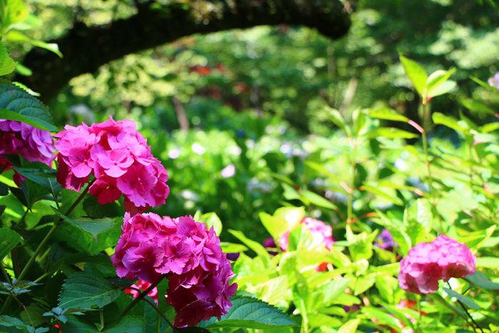 京都・左京区・京都府立植物園20160627-4