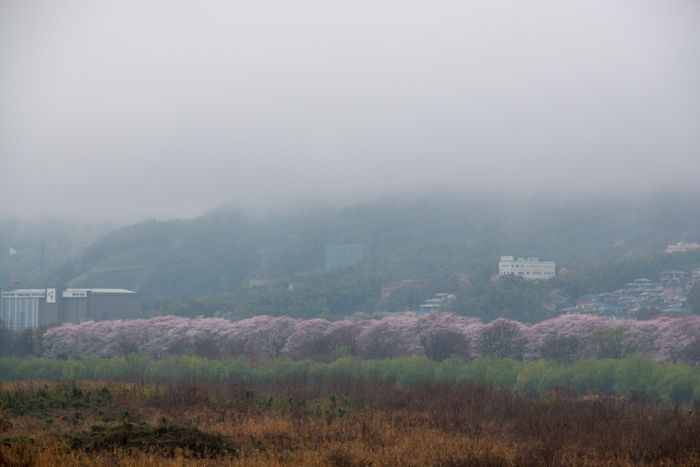 京都・八幡市・淀川河川公園背割堤地区20170408-7