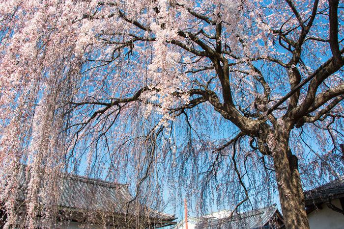 京都・上京区・本満寺20170404-1