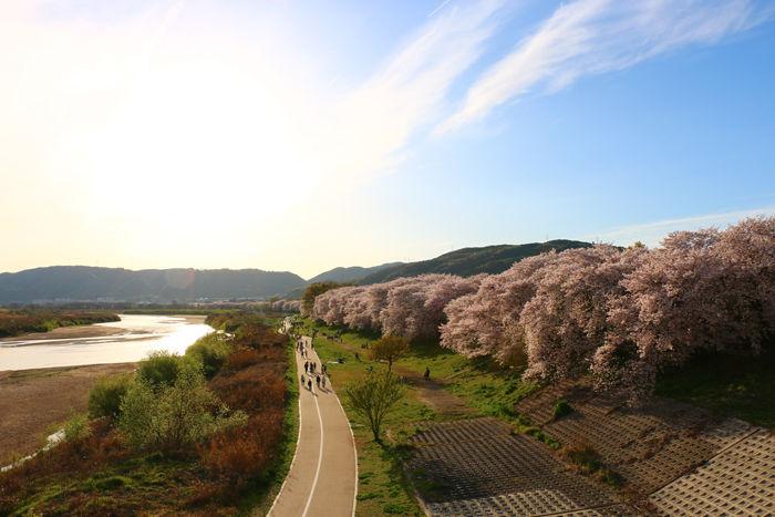 京都・八幡市・淀川河川公園背割堤地区20160405-1