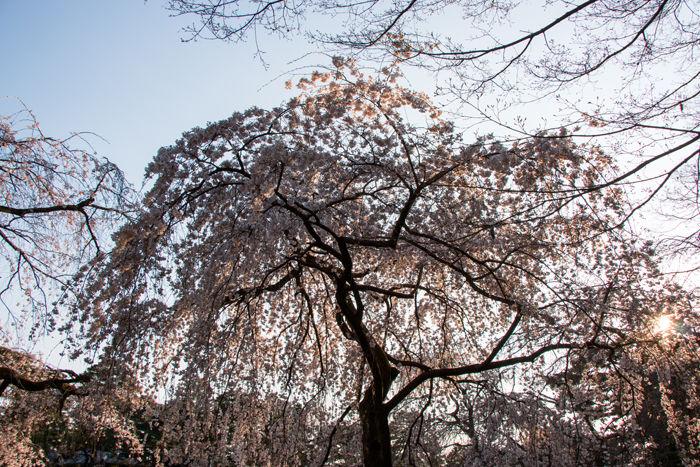 京都・上京区・京都御苑20170401-1
