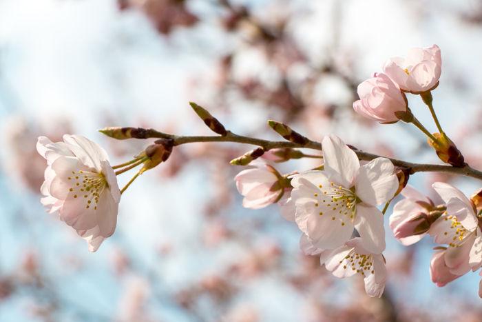 京都・左京区・京都府立植物園20170329-2