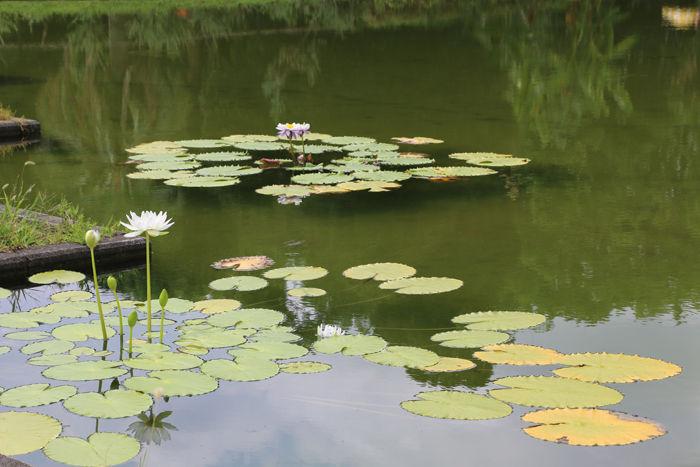 京都・左京区・京都府立植物園20160818-8