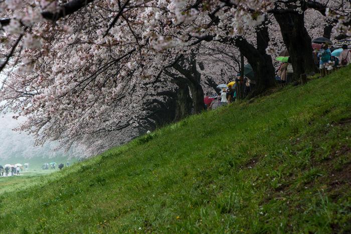 京都・八幡市・淀川河川公園背割堤地区20170408-5