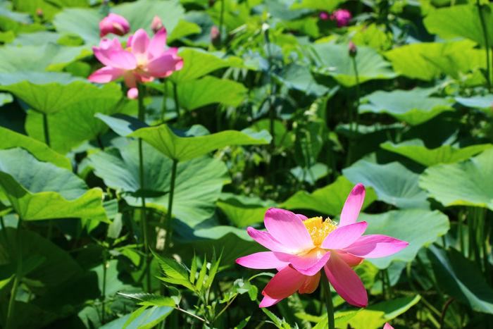 京都・左京区・京都府立植物園20160627-6