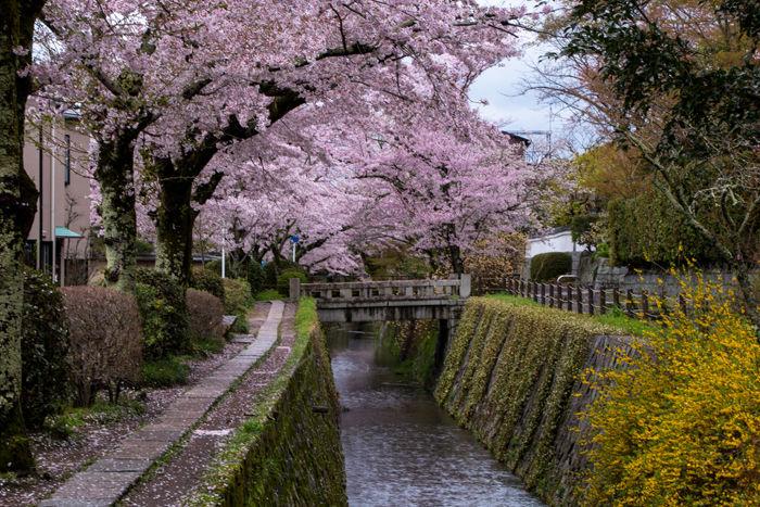 京都・左京区・哲学の道20170412-2
