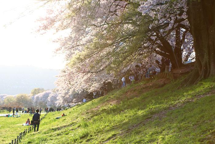京都・八幡市・淀川河川公園背割堤地区20160405-11
