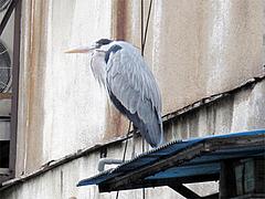 何かの鳥1@旦過市場・小倉