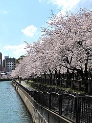 天神中央公園の桜1@福岡・天神散策