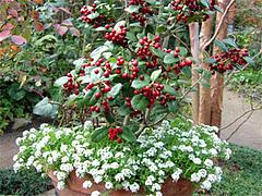 クリスマスホーリーの寄せ植え
