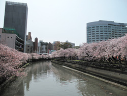 1薬院新川の桜