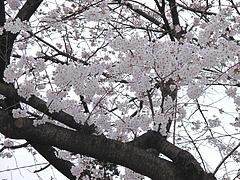 桜引き@福岡城址(舞鶴公園)・花見