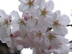 桜寄り@福岡城址(舞鶴公園)・花見