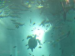 水槽の海亀@ベイサイドプレイス博多・福岡
