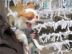 6退屈のチワワ・アンディ@高塚地蔵尊・大分
