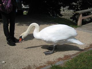 食べ物を要求する白鳥