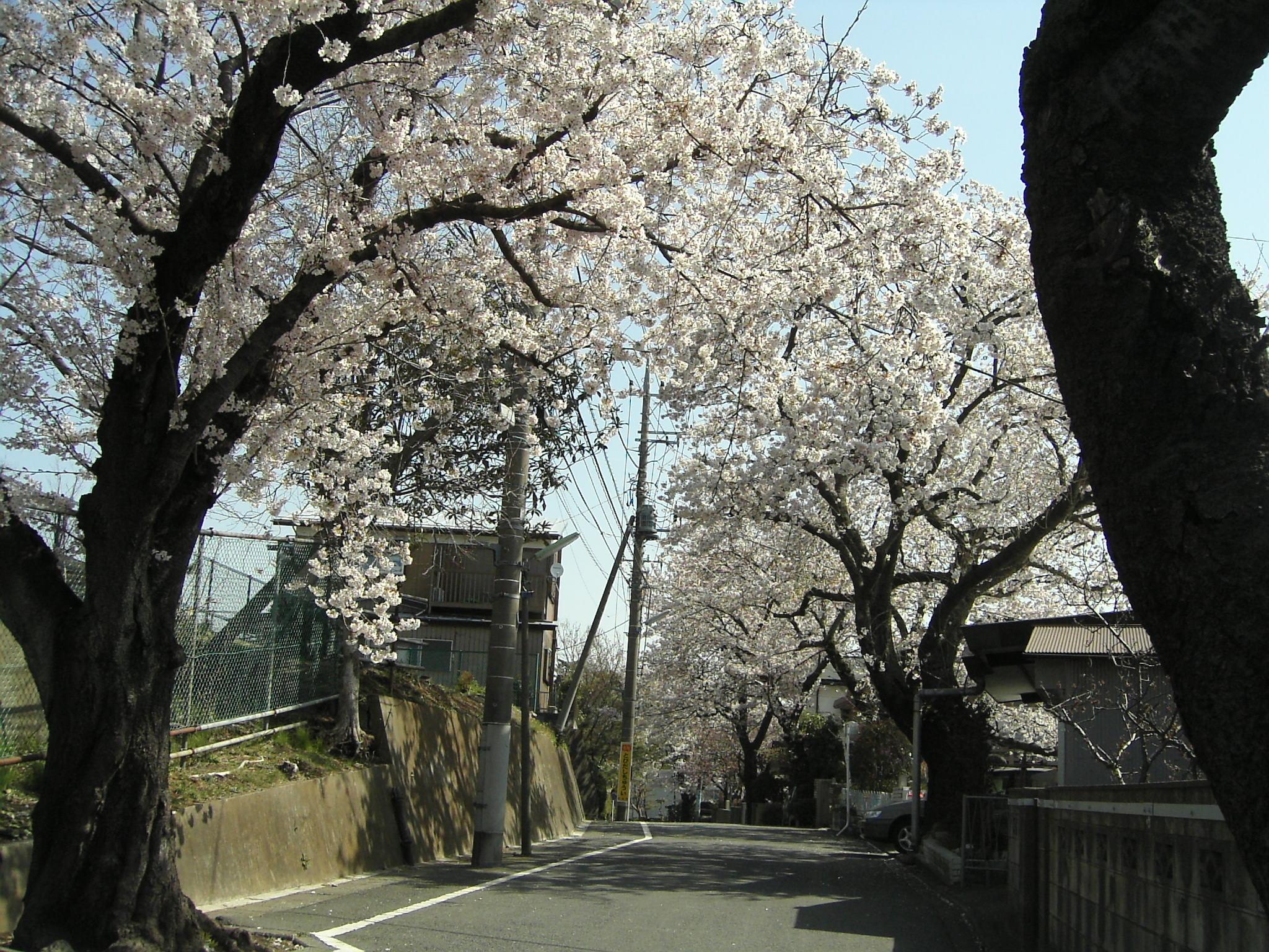 桜2006-2