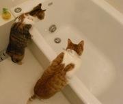 ネコお風呂