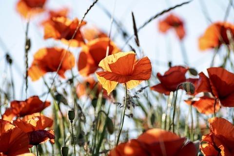 poppy-3581709_960_720