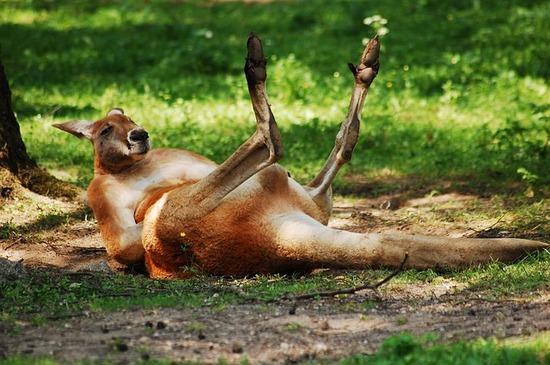 kangaroo-2384072_640