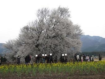 一心行の桜♪3