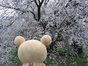 一心行の桜♪5