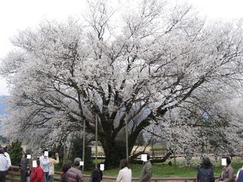 一心行の桜♪4