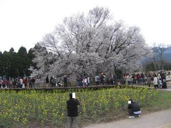 一心行の桜♪2