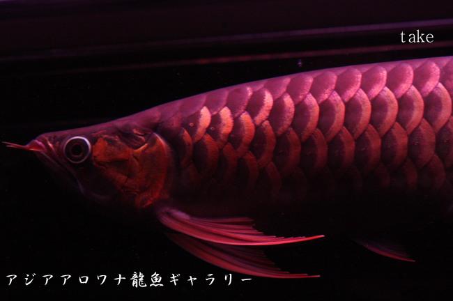 アジアアロワナ龍魚ギャラリー☆...