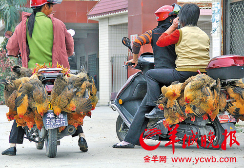 20130415_写真_中国_鳥インフルエンザ_ハト_2