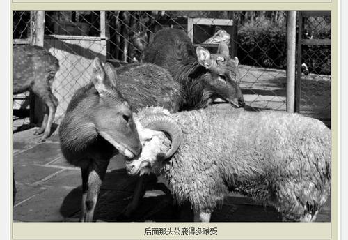 20111129_シカ_羊_禁断の恋_2