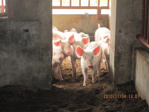 20110806_pig