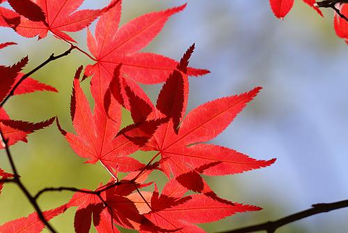 季節はずれな紅葉